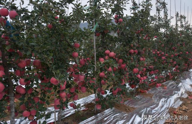 鲁丽矮化苹果