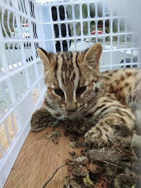 「生物多样性百科」脊椎动物·豹猫:最潮流的时尚,一定是有活力有温度的
