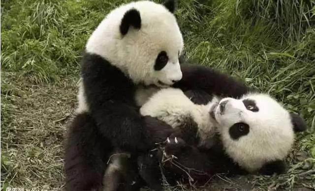 可爱熊猫头像