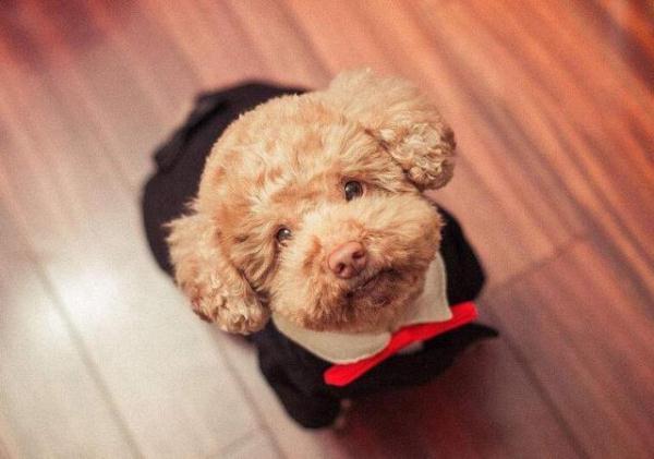 泰迪狗狗自制食譜