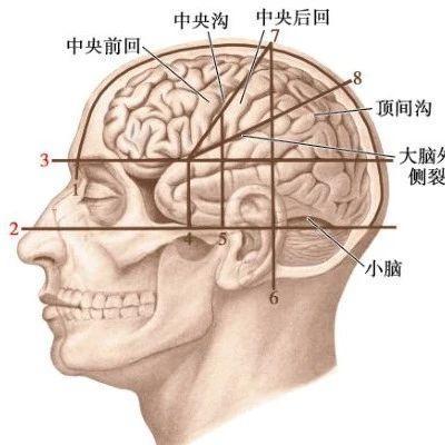 大脑半球(内侧面观)图,医学图片,快易捷药品交易网