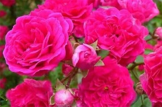 爬藤蔷薇一年开几次花_植物之家