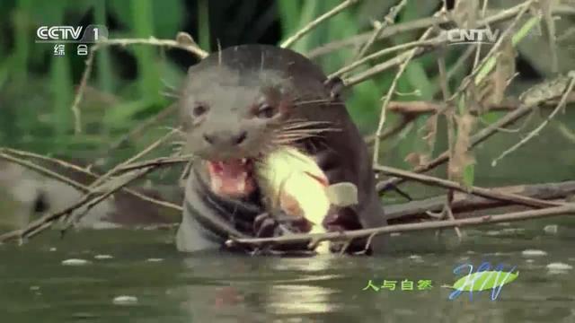 水獭头像可爱