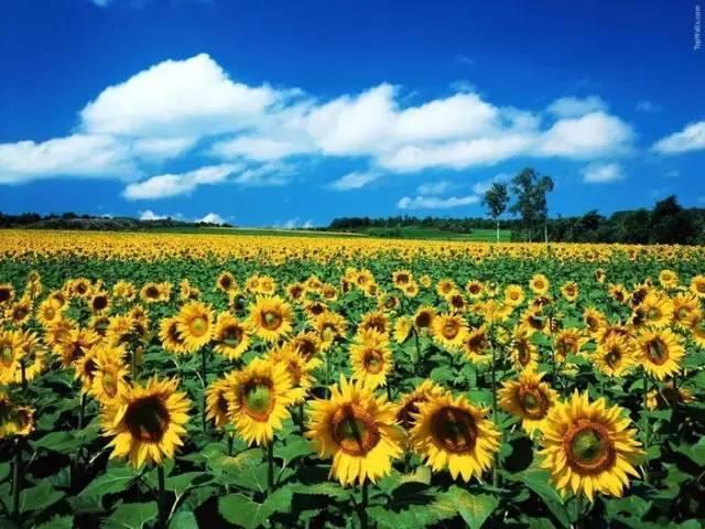 太阳花片大全大图