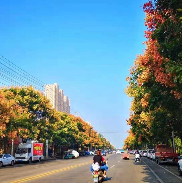 五角枫叶子图片