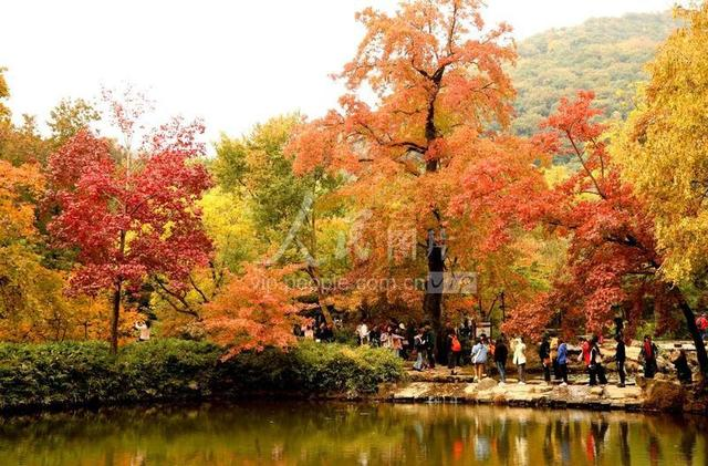 谁说看红枫一定要去天平山,阳澄湖畔枫林片片,自成一格