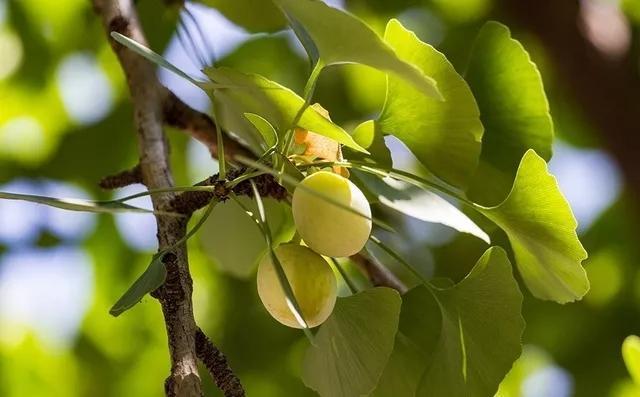 【科普】白果中毒是什么原因?怎么吃才不会中毒?白果的吃法