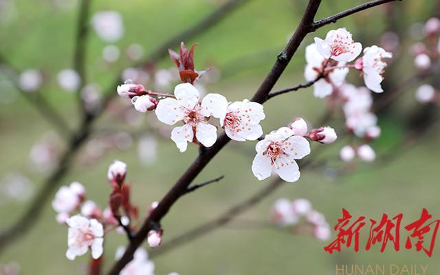 麻阳:长河公园红叶李如雪绽放