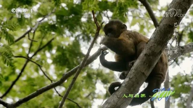 人与自然:雄卷尾猴为争夺家族首领,被对手生生掰断手指,太惨烈