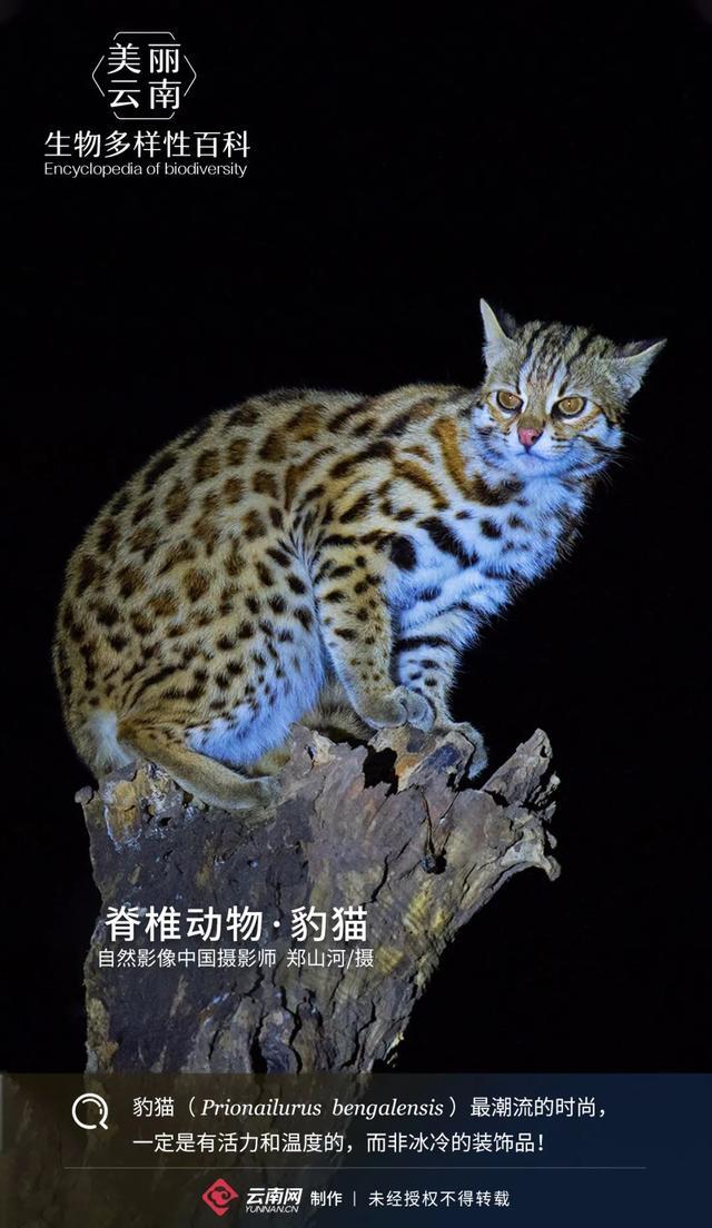 豹猫可以养吗 豹猫和一般的猫有什么区别 - 京东
