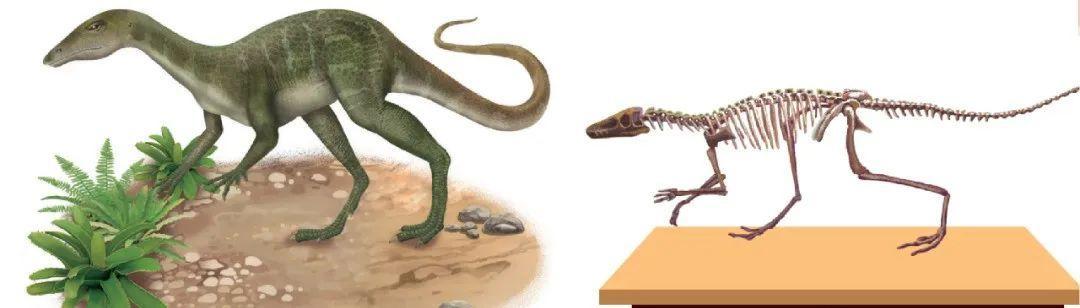 恐龙是怎么诞生的:兔鳄复原图 兔鳄化石