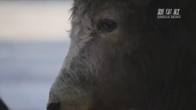 西藏牦牛头像