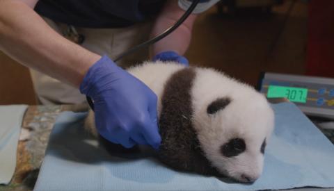 大熊猫头像