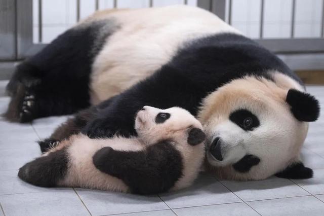巴氏大熊猫模型图片