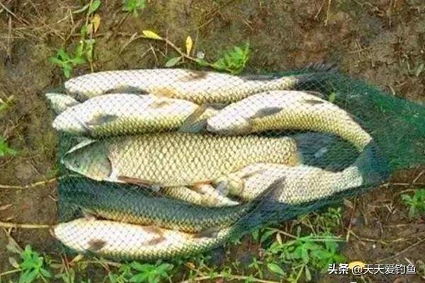 仲秋时节钓草鱼,用这种方法事半功倍,轻松钓获大草鱼