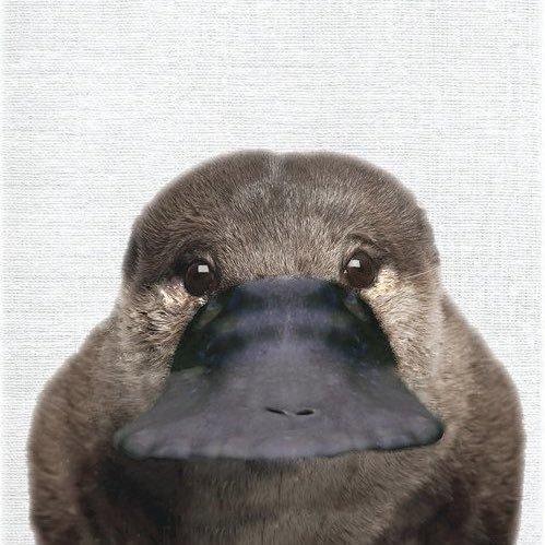 鸭嘴兽正面照曝光,不可爱不要钱,扁嘴放到其他动物身上也好萌