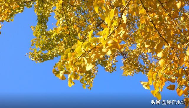 南雄银杏已进入颜值巅峰,美成一幅绚丽斑斓的油画!