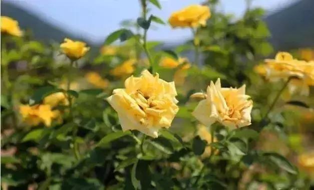 真玫瑰花图片大全大图