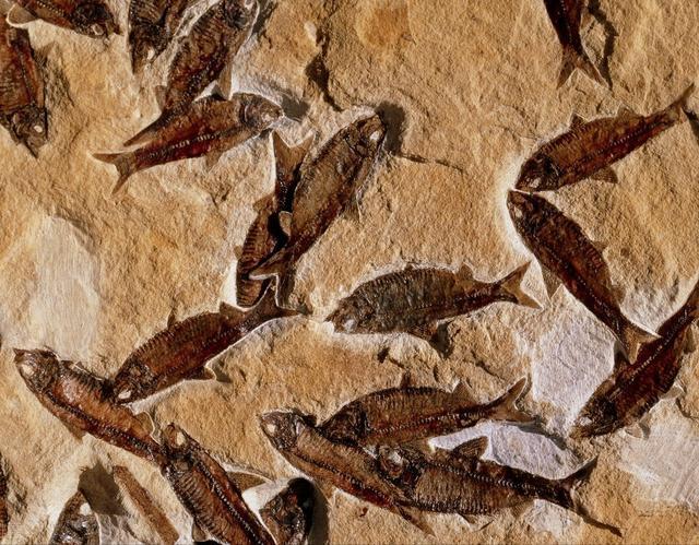 艾青鱼化石配图