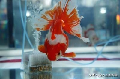 了解金鱼常见的十种疾病_99健康网