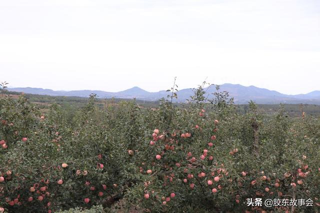 煙臺紅富士蘋果價格