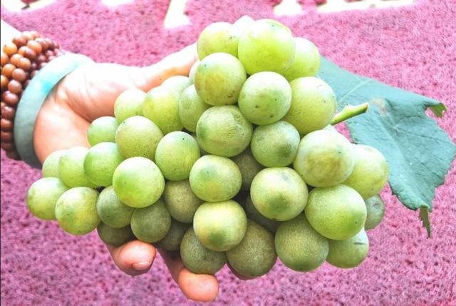 乡村发现:一农户两株葡萄树,采了80斤葡萄,结果不满意
