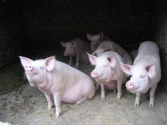 养一头猪到底能赚多少钱?我们一起来算算