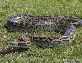 最大蟒蛇图片大全大图