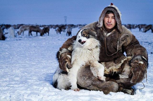 阿拉斯加雪橇犬白色