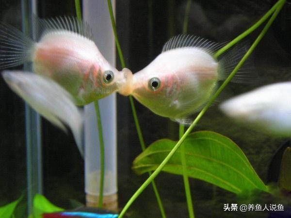 深受鱼友喜爱的接吻鱼,不论雌雄都要接吻,太好看了不养也要知道