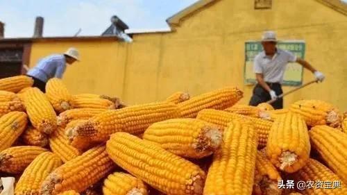 玉米价格每斤冲刺1.3元!竞技宝IOS要涨到1.4元?看分析
