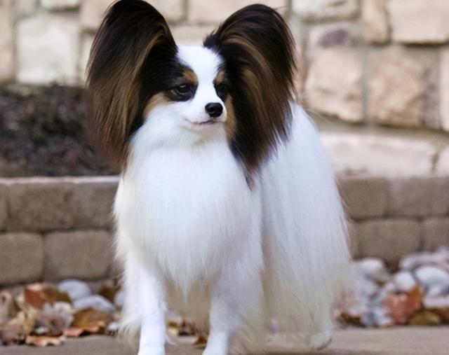 小型宠物狗图片及名字
