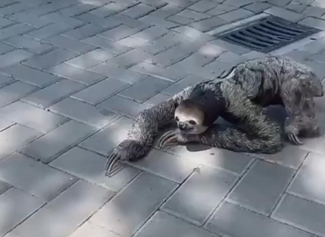 吃喝拉撒都懒得去做的动物—树懒