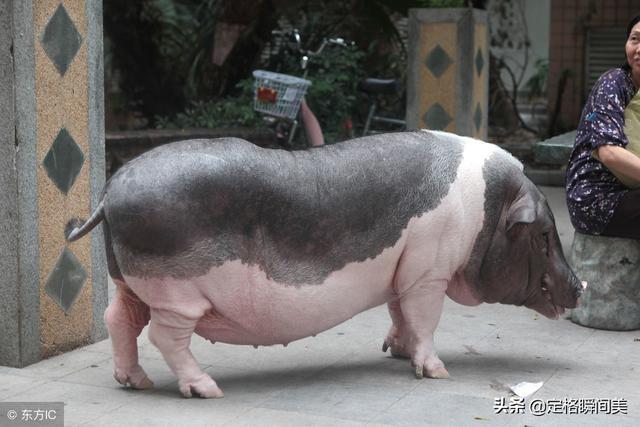 猪年画猪名家笔下的猪憨态可掬