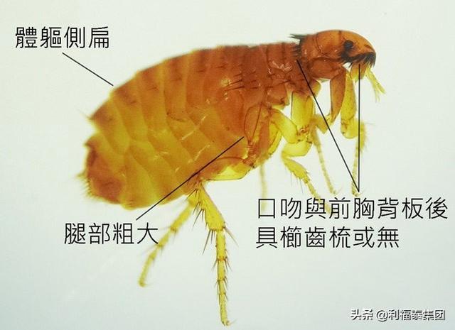 殺跳蚤最有效的方法
