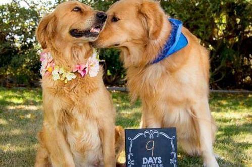 狗的发情期一般会持续多少天?