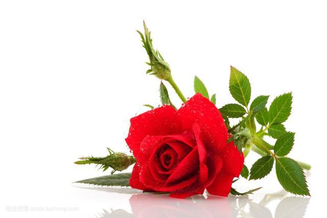 玫瑰花素描