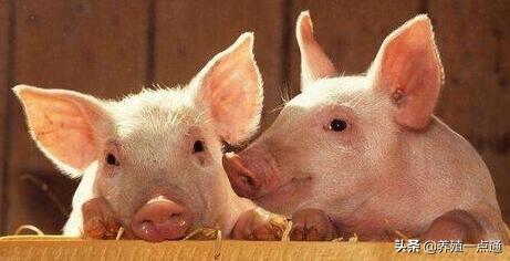 夏季养猪抗应激五式,饲料配方适时调整