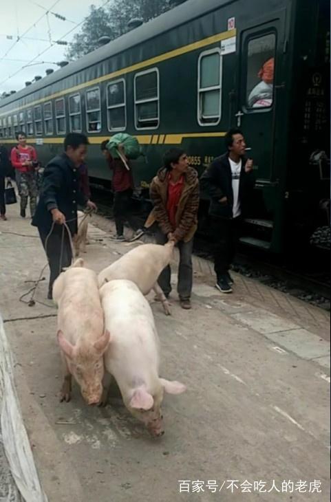猪坐火车回家,引起社会热议,拍摄者道出真相引人心酸_网易新闻