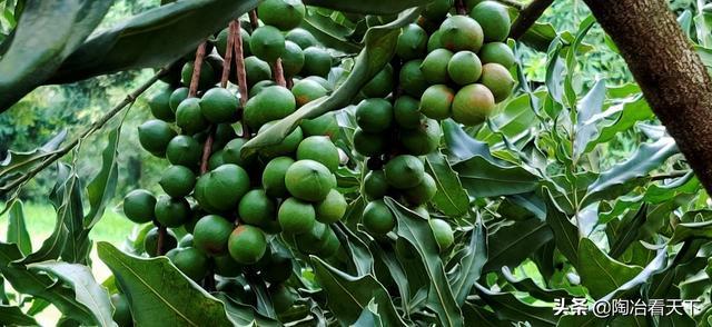 夏威夷果是什么树的果实 - 生活 - 懂得
