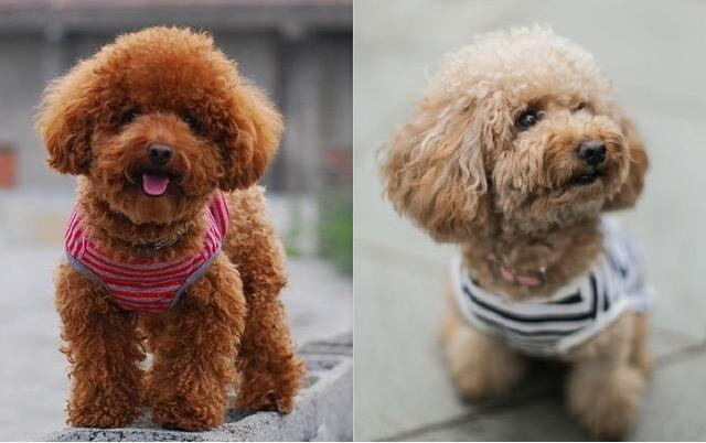 怎么才能让泰迪狗毛变光亮