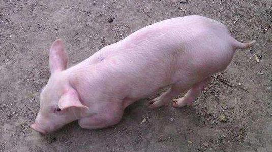 木炭在养猪中的妙用,小偏方治大病,安全又有效