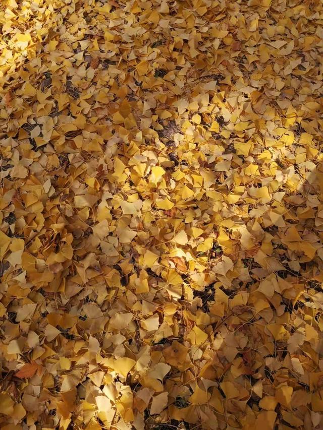 银杏树叶黄了图片