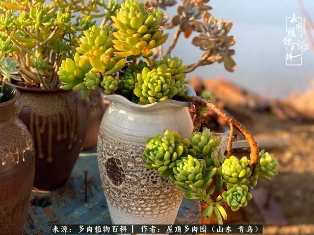朝霞锦多肉植物图片
