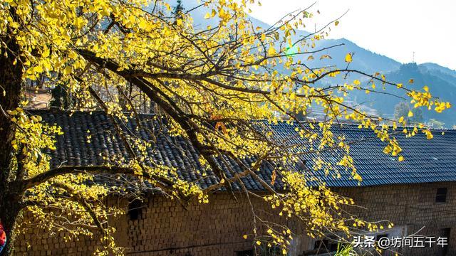 粤北南雄的金色银杏、始兴深渡水的苍翠绿意,一年仅两周绝美秋色