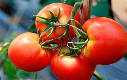 西红柿栽培技术_耀家农业
