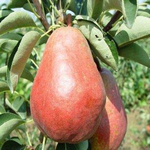 本季中国鲜梨出口预计增长60%;盘点各产梨国家进出口量