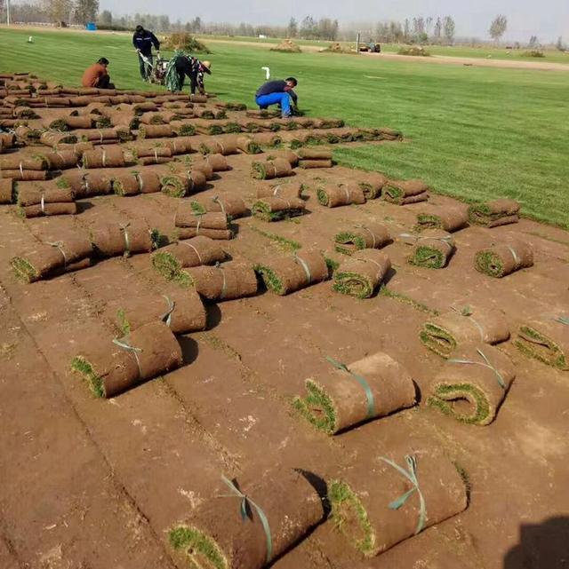 马尼拉草坪安全防除红花酢浆草,掌握方法很重要!