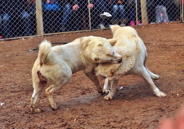 巨型高加索成年犬图片