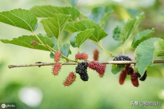 诗经植物图片
